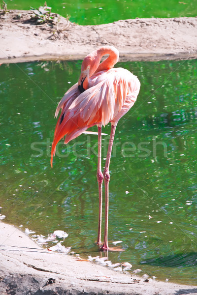 Flamingo Stock photo © sailorr