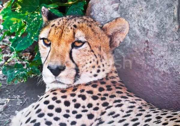 Cheetah Stock photo © sailorr