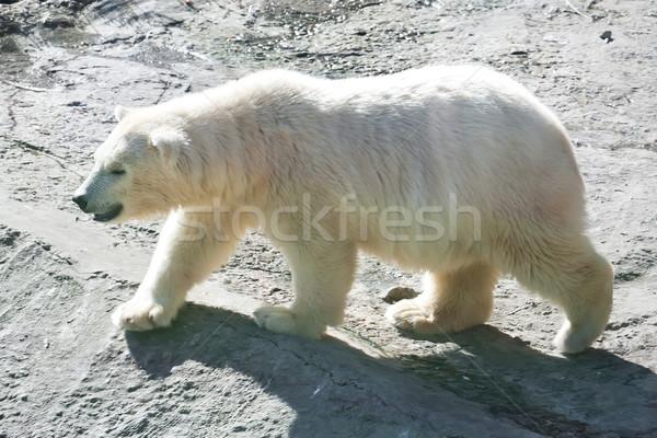 полярный медведь Nice фото Cute белый природы Сток-фото © sailorr