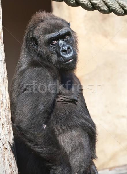 Gorilla szép fotó fekete afrikai állatkert Stock fotó © sailorr