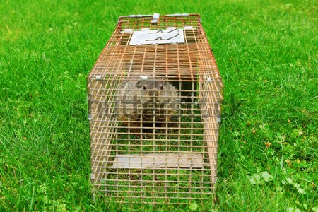 Raccoon Trapped in a Cage Stock photo © saje