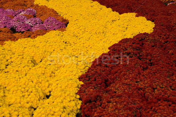 Mums Gold and Red Stock photo © saje