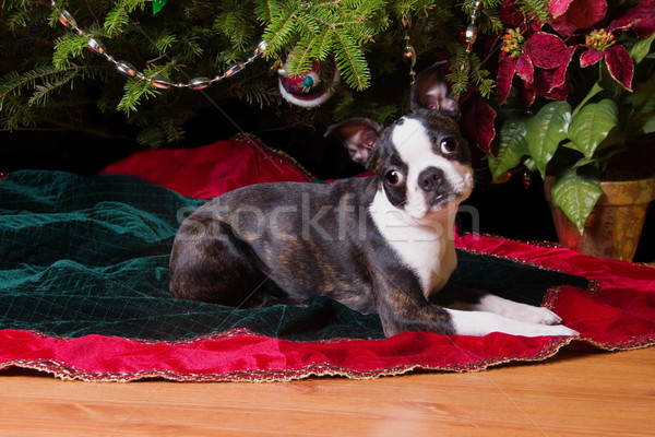 Christmas leggen boom Boston terriër puppy Stockfoto © saje