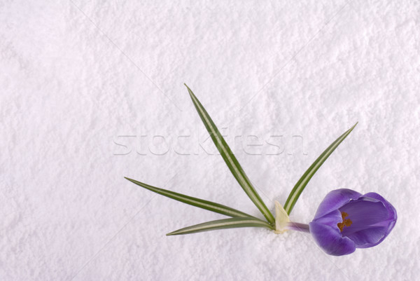 Crocus in Snow Purple from Above Stock photo © saje