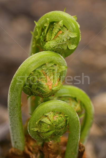 Ferns Emerging in Spring 2 Stock photo © saje