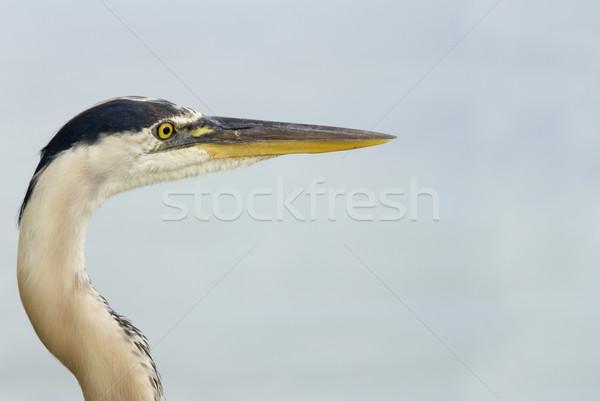 Mavi balıkçıl görüntü muhteşem yüz Stok fotoğraf © saje
