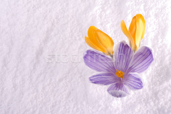 Stock photo: Crocus in Snow Striped and Yellow