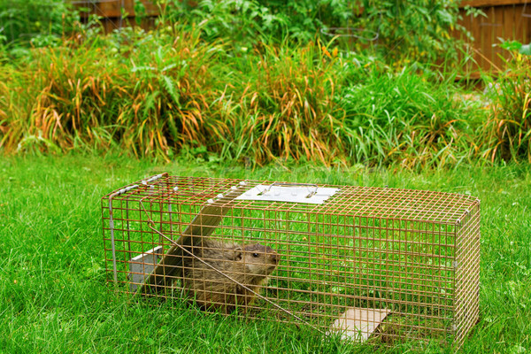 Groundhog in Trap in Front of Garden Stock photo © saje