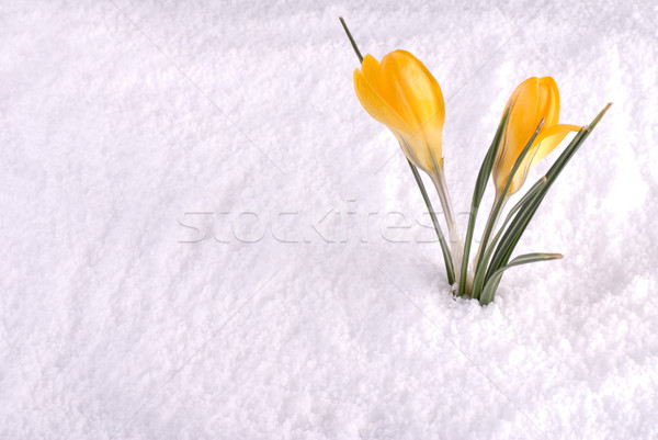 Crocus in Snow Yellow Stock photo © saje