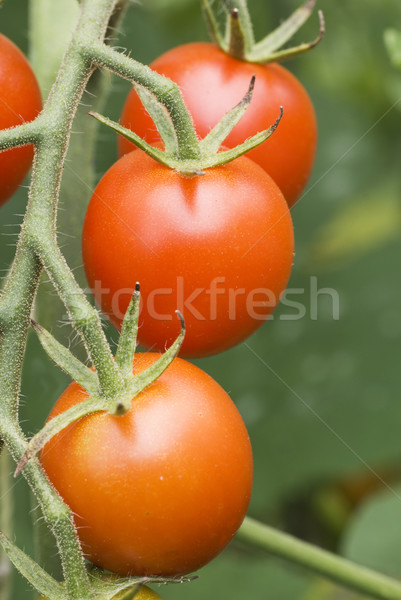 Cherry Tomatos on Vine 3 Stock photo © saje