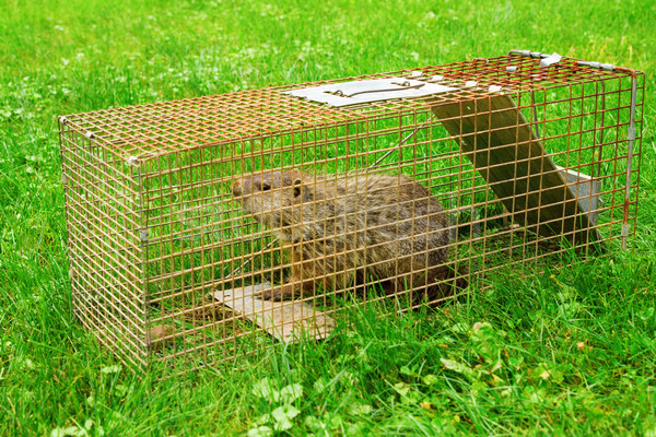 Stock photo: Groundhog Trapped in a Cage