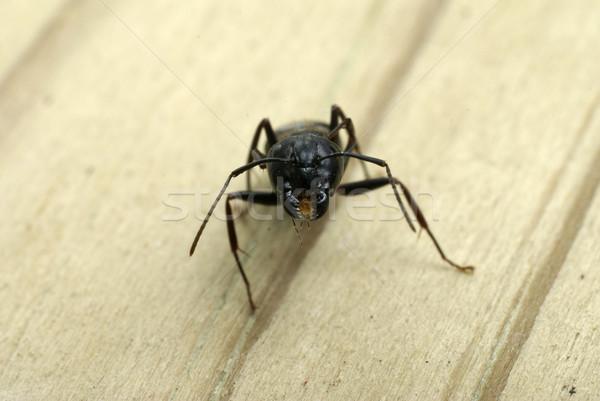 Zimmermann Ameisen Kopf ant Stock foto © saje