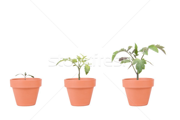 Terracotta Planters with Tomato Plants Stock photo © saje