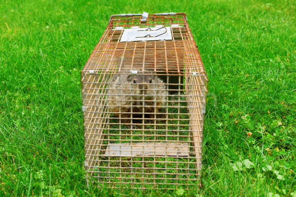 Groundhog Trapped in A Cage Looking at Viewer Stock photo © saje