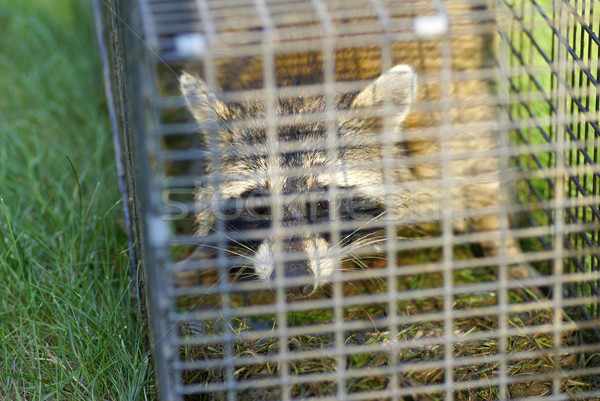 Raccoon Trapped in A Cage Looking at Viewer Stock photo © saje
