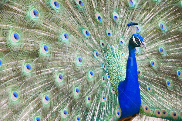 Photo stock: Paon · bleu · coloré · plumage · texture
