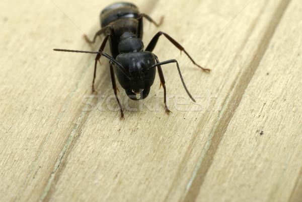Carpenter ant close-up of jaws Stock photo © saje