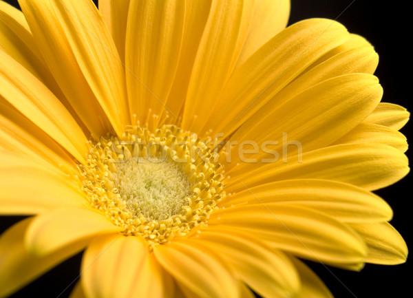 Parlak sarı papatya çiçek bahar Stok fotoğraf © saje