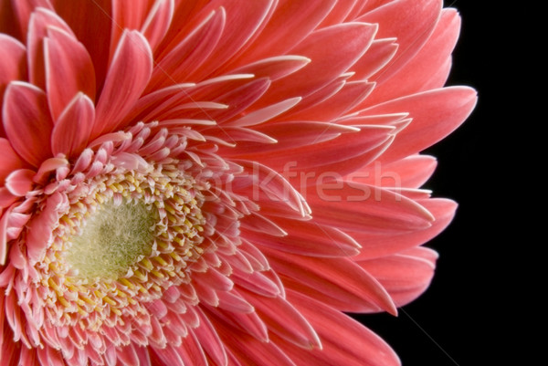 Pink Gergera Daisy Closeup Stock photo © saje