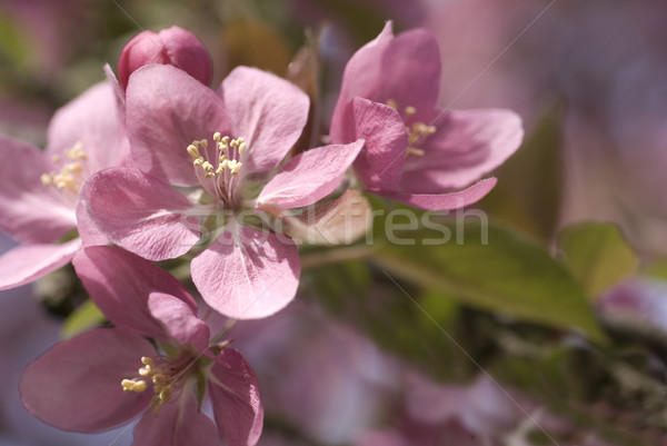 Blühen Haufen rosa seicht Frühling Natur Stock foto © saje