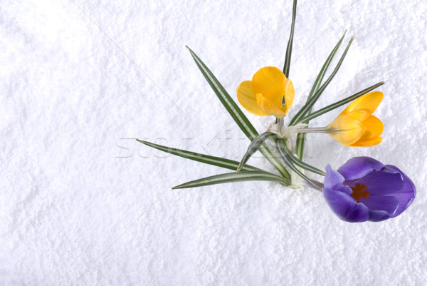 Foto stock: Açafrão · neve · roxo · amarelo · flores · flor