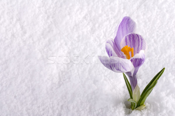 çiğdem kar çizgili çiçek bahar doğa Stok fotoğraf © saje