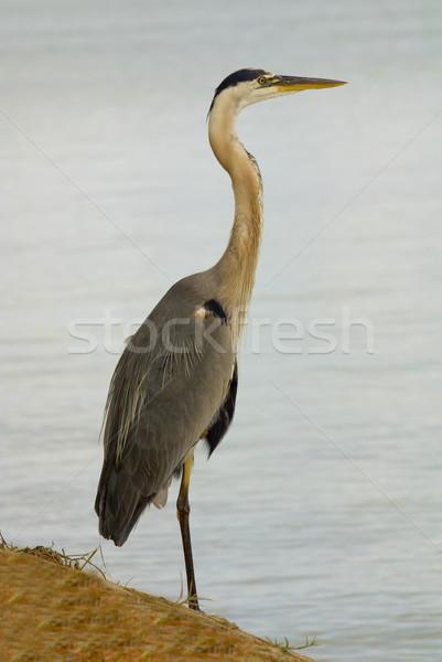 Mavi balıkçıl tam uzunlukta atış Stok fotoğraf © saje