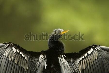 Cormorant Drying Wings Closeup Stock photo © saje