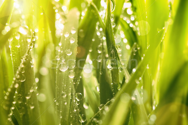 Droplets of water on blades of grass Stock photo © Sandralise