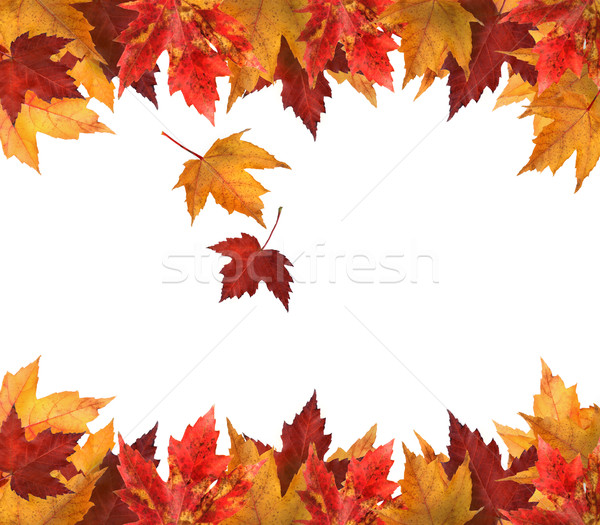 Maple leaves isolated on white Stock photo © Sandralise