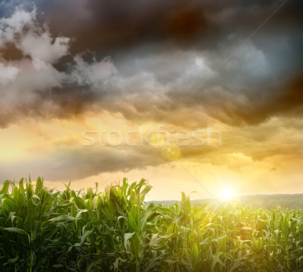 Dark skies looming over corn fields  Stock photo © Sandralise