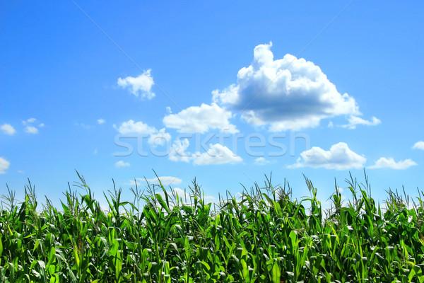 Domaine maïs août nature paysage santé Photo stock © Sandralise