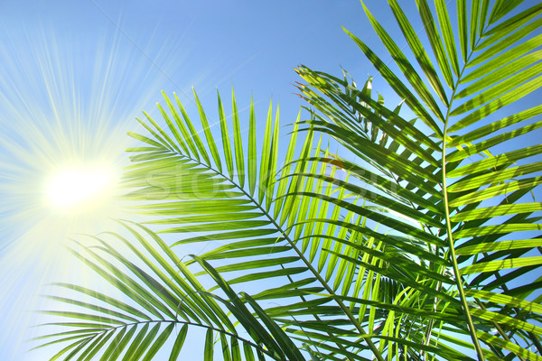 Palm branches in the summer sun Stock photo © Sandralise