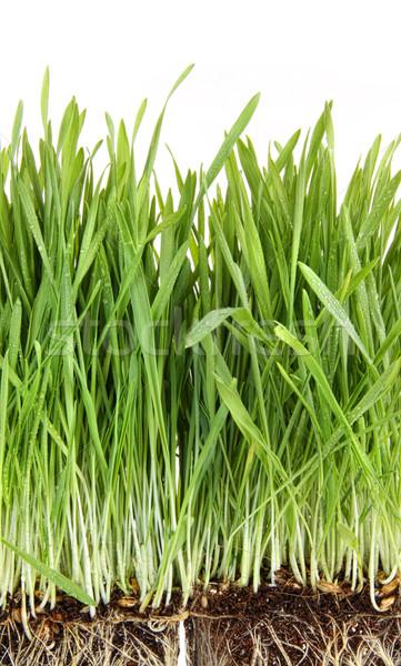 Trawy pszenicznej biały trawy tle roślin Zdjęcia stock © Sandralise