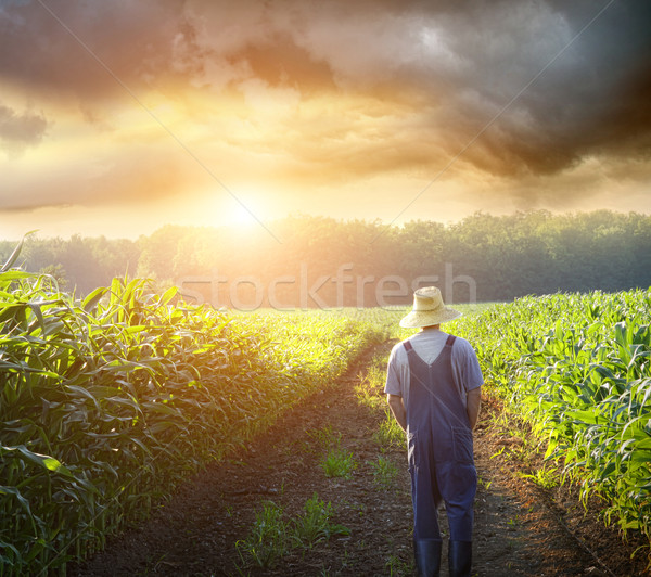 Agricultor caminando maíz campos puesta de sol hermosa Foto stock © Sandralise