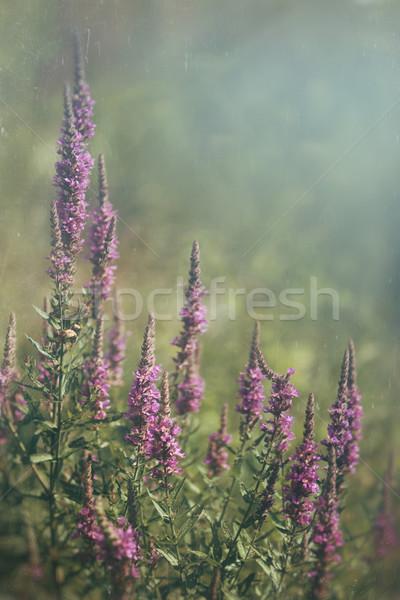 Púrpura flores silvestres creciente campo primavera hierba Foto stock © Sandralise