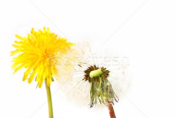 Pitypang virág virágok tavasz absztrakt természet Stock fotó © Sandralise