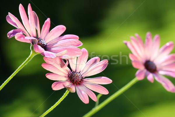 Rosa margaridas vento primavera jardim Foto stock © Sandralise