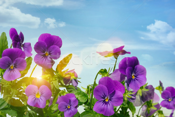 Purple violets against a sky background Stock photo © Sandralise