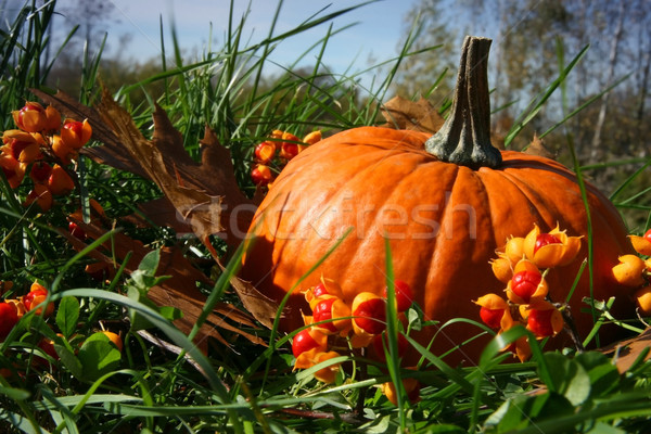 Pumpkins in the grass Stock photo © Sandralise