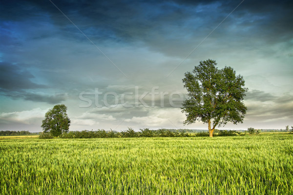Beautiful summer fields of wheat  Stock photo © Sandralise