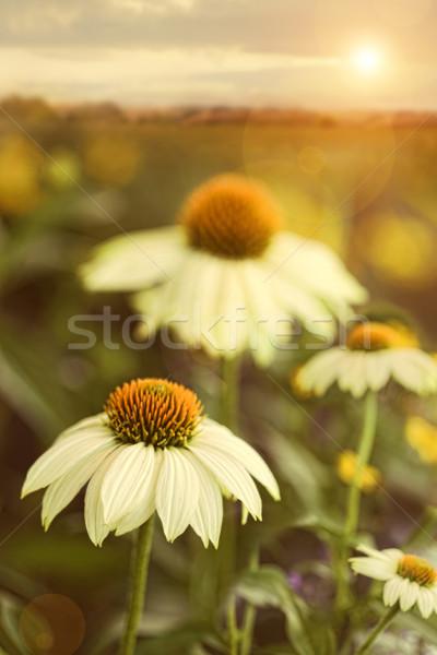 Stok fotoğraf: Yaz · Çiçekler · alan · doku · çim · yaz · papatya