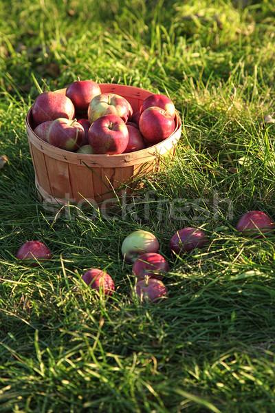 Closeup of freshly picked apples  Stock photo © Sandralise