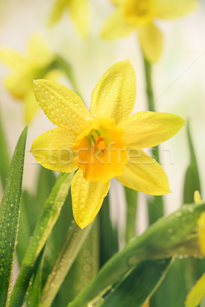 Narcissus flowers and green leaves Stock photo © Sandralise