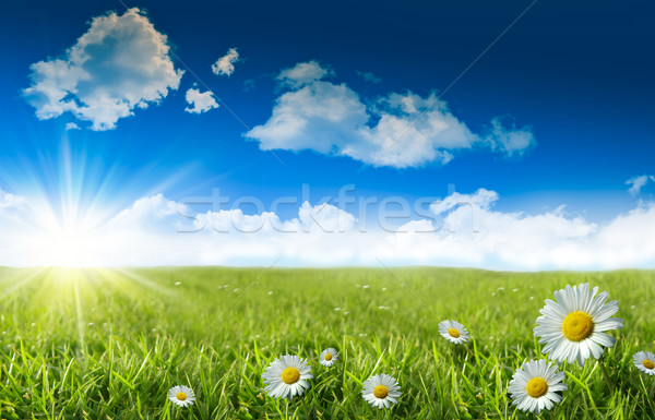 Wild daisies in the grass with a blue sky Stock photo © Sandralise