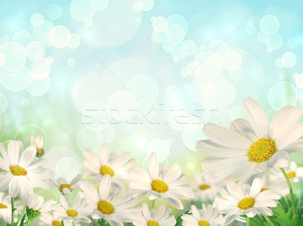 Spring Background with daisies Stock photo © Sandralise