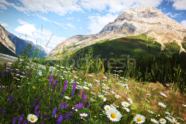 Stock photo: Field of daisies and wild flowers