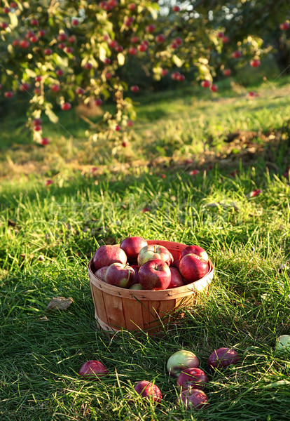Freshly picked apples in the orchard  Stock photo © Sandralise