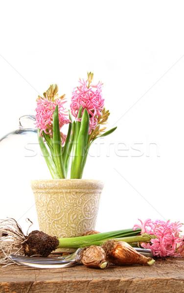 ピンク ヒヤシンス 植物 庭園 夏 美しい ストックフォト © Sandralise