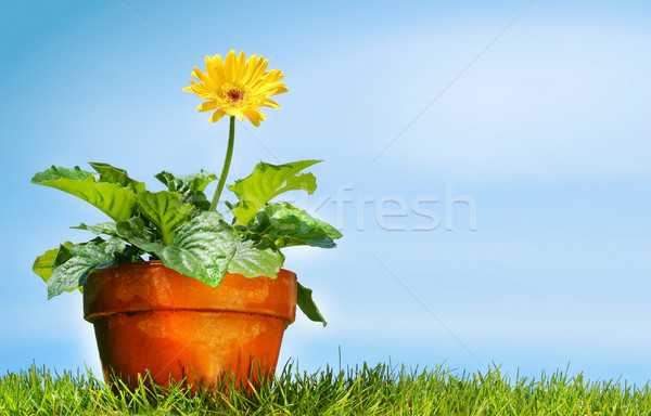 Ghiveci de flori iarbă Blue Sky cer primăvară vară Imagine de stoc © Sandralise